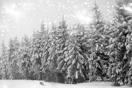 ponderosa pine winter: Snowfall in coniferous forest in the Carpathians Stock Photo