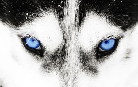 Close up on blue eyes of a husky dog