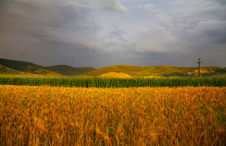 Summer background with wheat and corn field and green hills in the sunset Stock Photo