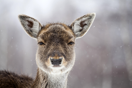 Portrait of a female of fallow deer in the snow