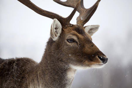 Porträt eines Mannes der Bracherotwild im Schnee