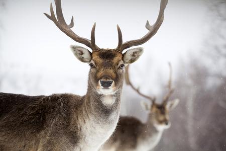 Porträt eines Männchens von Damwild im Schnee