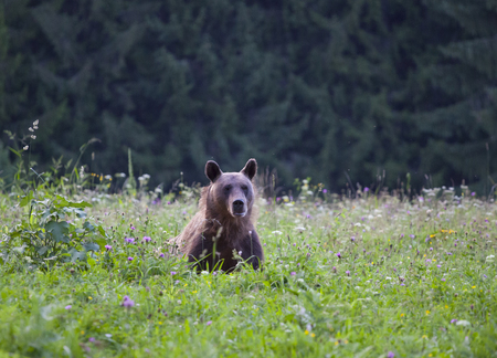 Carpathian brown bear in summer field Stock Photo