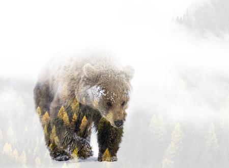 Double exposition d'un ours brun sauvage et d'une forêt de pins Banque d'images