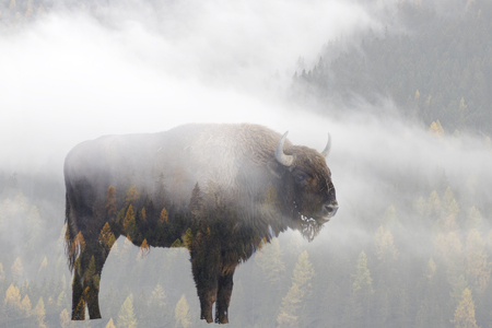 Double exposure of a wild bison, buffalo and a pine forest Stockfoto