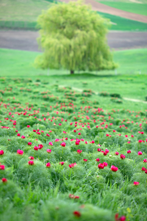 Beautiful landscape with steppe peonies (Paeonia tenuifolia) in Transylvania, Romania