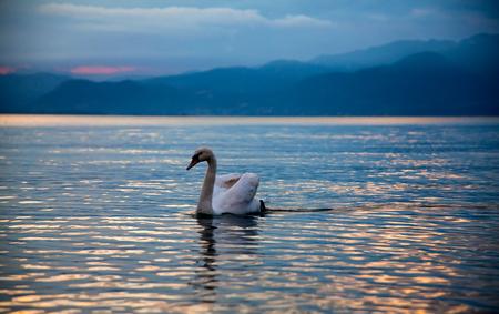 Idyllic sunset over Lake Garda with beautiful swans on the lake Stock Photo