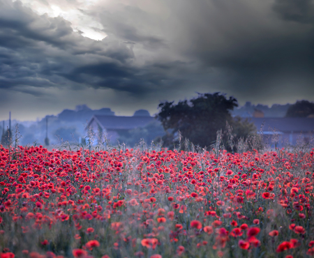 Beautiful field of red poppies and stormy sky - Summer nature background Standard-Bild