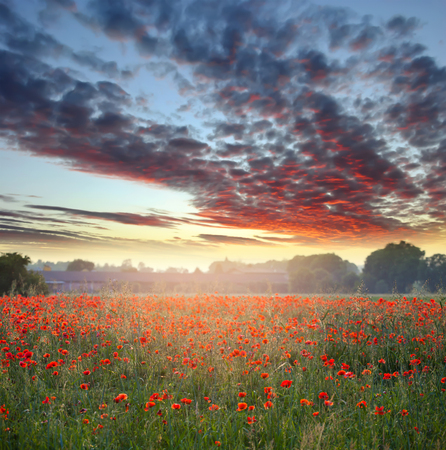 Beautiful field of red poppies and stormy sky - Summer nature background