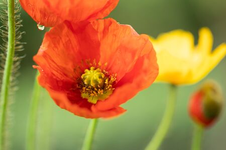 Wild poppy flower at sunset. Symbol of Remembrance Day. Stock Photo