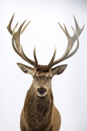 Portrait of a male of fallow deer on white background.