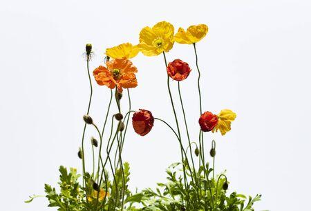 Bunte, rote und gelbe Mohnblumen auf weißem Hintergrund.