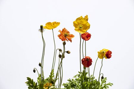 Colorful, red and yelow poppies on white background. Stock Photo