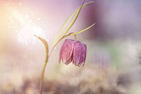 Close up on an endangered wild Chess Flower (Fritillaria meleagris) or snake's head fritillary. Stock Photo