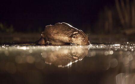 European otter (Lutra lutra) fishing at night in wilderness