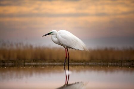 Great White Egret standing in the lake Stock Photo