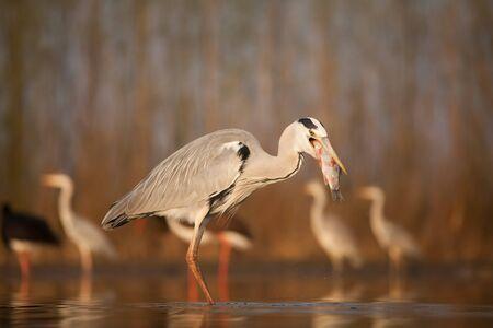 Grey Heront fishing on a lake Stockfoto