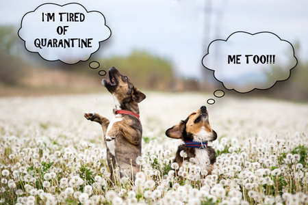 Funny dogs with the I`m tired of quarantine text. Quarantine concept due to coronavirus, COVID-19 world outbreak.