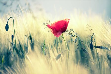 Wild poppy flower close-up. Fresh summer background.