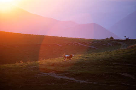 Magic rural landscape of grazing cow in the sunset in Transylvanian mountains. 版權商用圖片