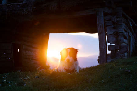 Beautiful white sheepdog sitting near a wooden shack in magic sunset light.