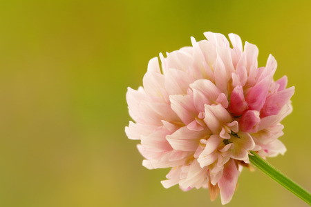 single white and pink clover flower on blurry green background