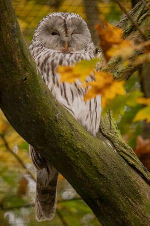 Ural Owl sitting on a tree Stockfoto