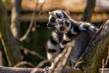 Ring-tailed Lemur and Cub (Lemur catta)