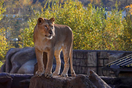 Beautiful lioness on green background