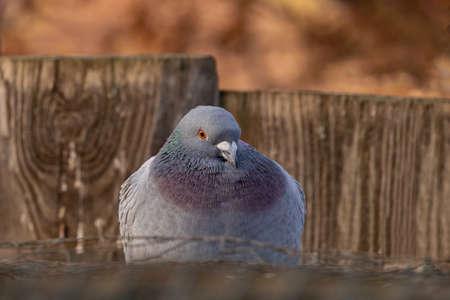 Homing pigeon Фото со стока - 139503943