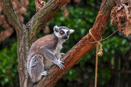Ring-tailed Lemur (Lemur catta) sitting on a branch.