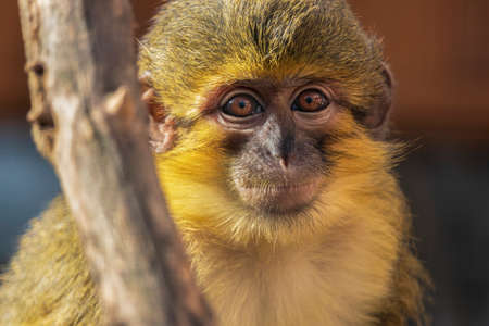 Little funny gabon talapoin also known as the northern talapoin, Miopithecus ogouensis