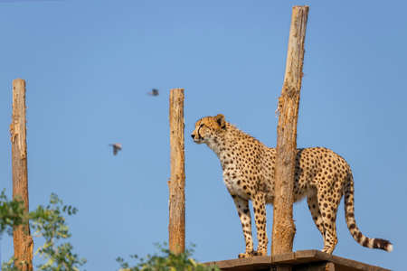 A beautiful cheetah (Acinonyx jubatus) standing on a big branch with a blurred blue background.