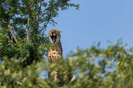 A cheetah (Acinonyx jubatus) sits in a bush and watches the surroundings.