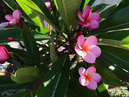 Pink Plumeria Flowers Фото со стока