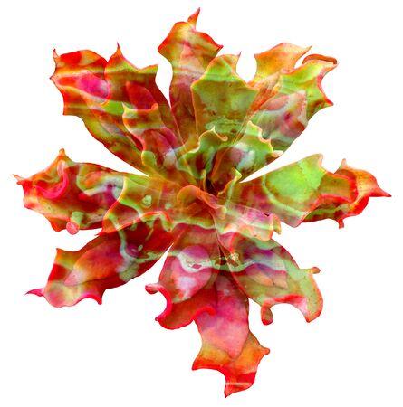 Succulent Isolated Фото со стока - 72059226
