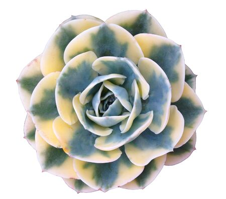 Succulent Isolated Фото со стока