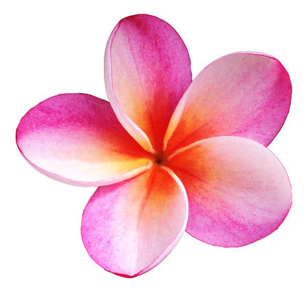 Pink Plumeria Isolated Фото со стока