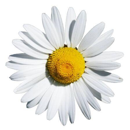 White Daisy Isolated Фото со стока - 72059253