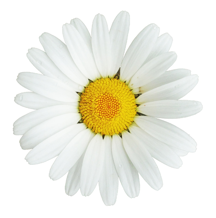 White Daisy Isolated
