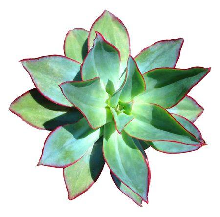Succulent Isolated Фото со стока