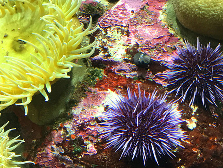 pink anemonefish: Sea Anemone and Urchin