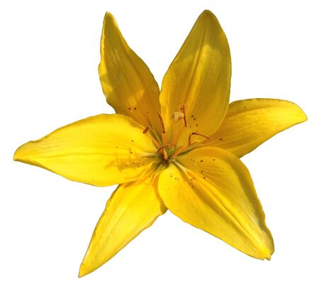 Lily Flower Isolated