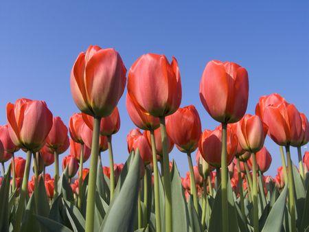 Tulip field 5
