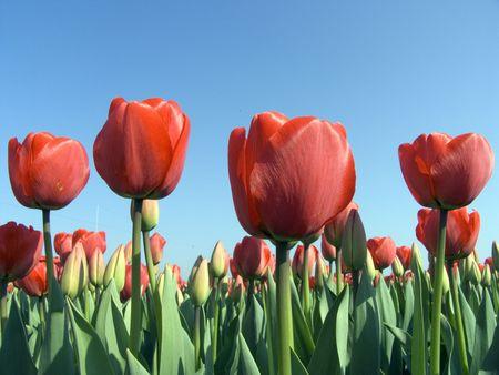 Tulip field 9