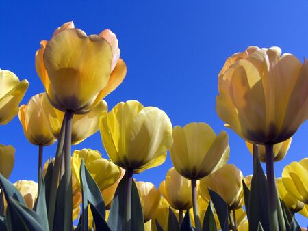 Tulip field 7 Stock Photo