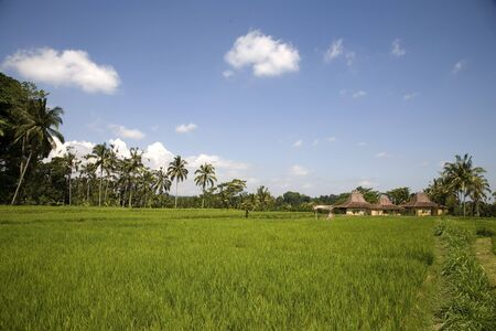 ricefield: Ricefield 3