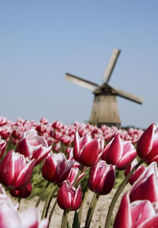 tulips and windmill photo