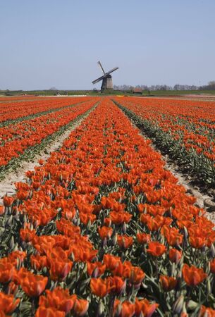 tulips and windmill 3 photo