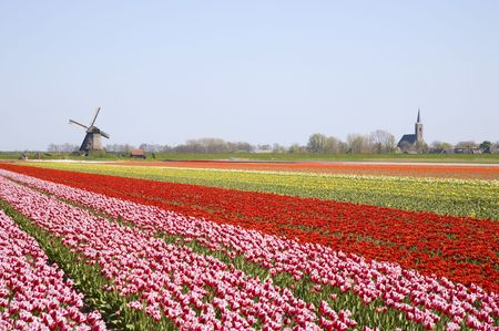 tulips and windmill 4 photo